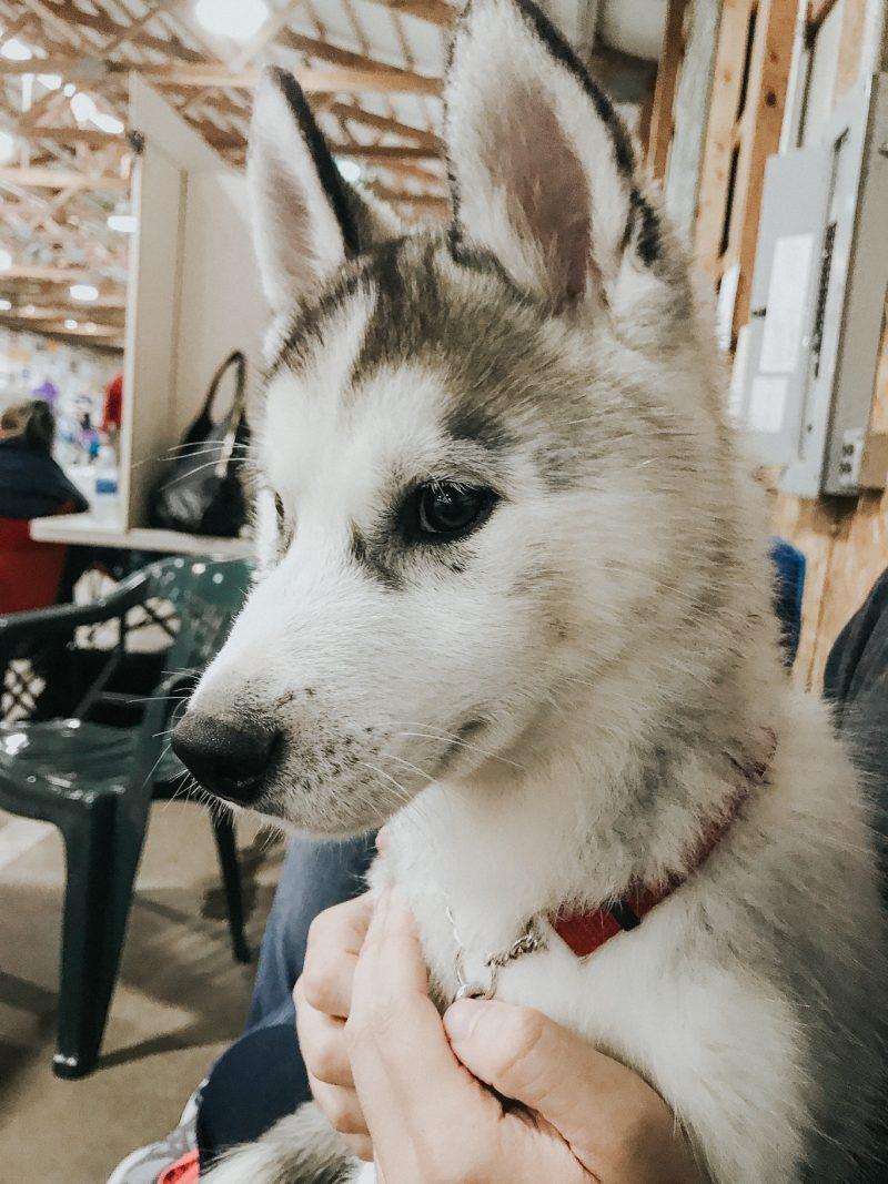 Indiana Husky Puppies